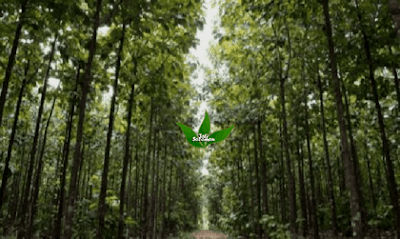 Hutan_Pohon_Jati_Jawa