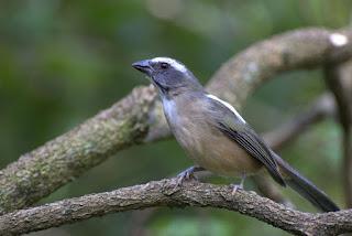 Criador de pássaros é flagrado pelo Ibama tentando comercializar animais nas redes sociais