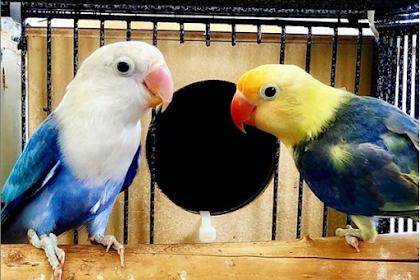 10 Cara Mudah Membedakan Lovebird Jantan dan Betina