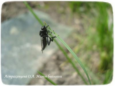 черная муха толстоножка на траве, весна
