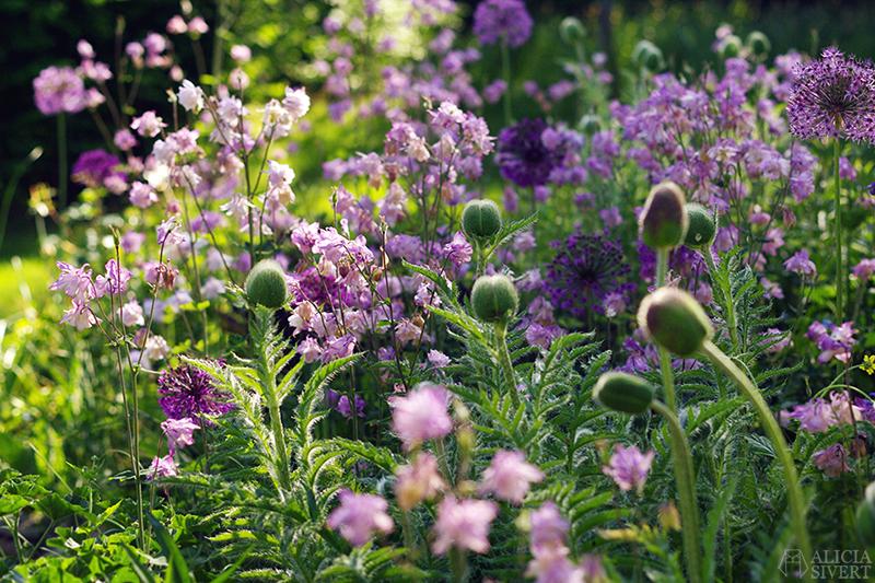 aliciasivert alicia sivertsson sivert försommar blomma blommor vallmo