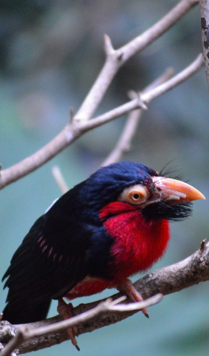 Bearded barbet-A bird with a beard.