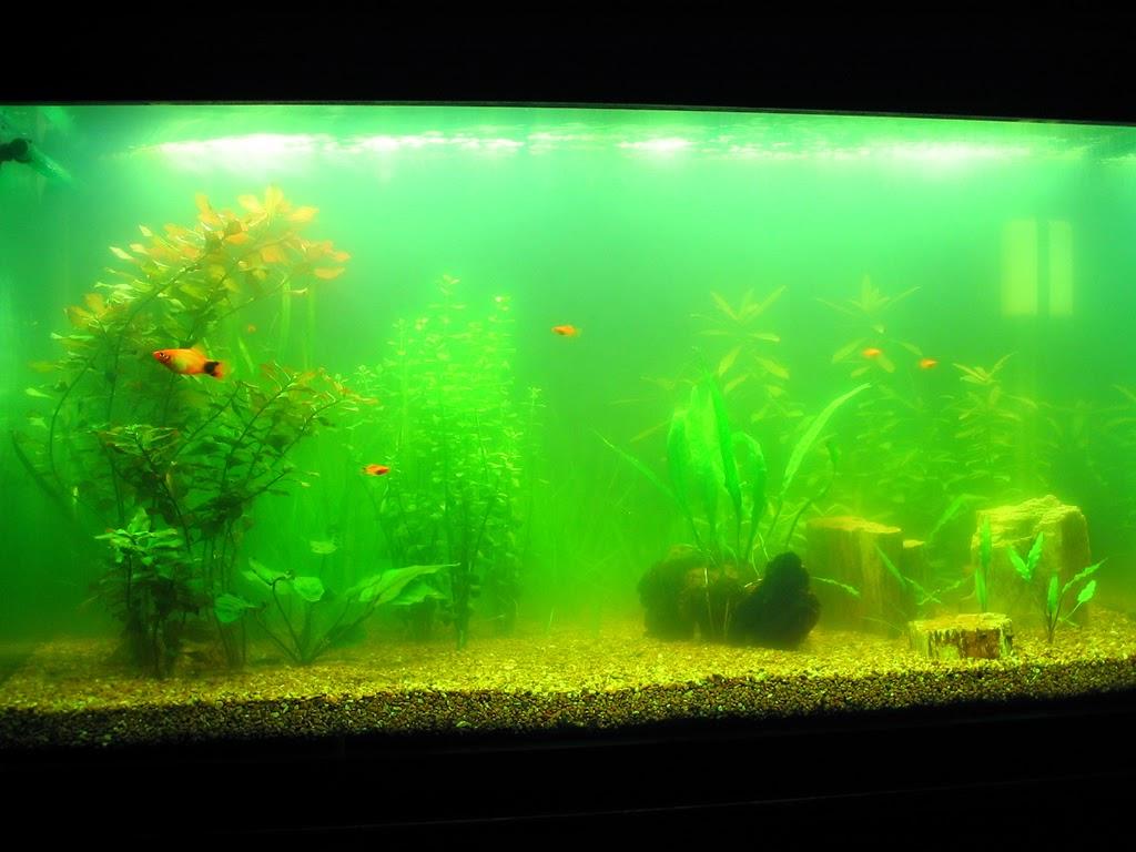 tảo nước xanh - một loại rêu hại trong hồ thủy sinh