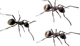 More tips for house ants How to get rid of ants naturally from your house