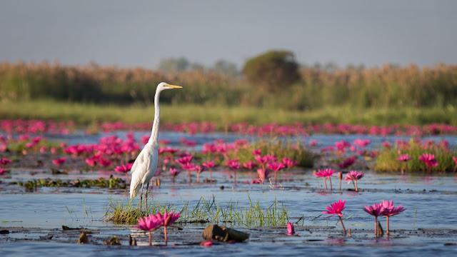 شاهد سحر بحيرة اللوتس الأحمر في تايلند I-visited-the-red-lotus-sea-in-Thailand-57b3167174588__880