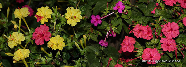 Mirabilis jalapa (The four o'clock flower) yellow pink and purple flowers