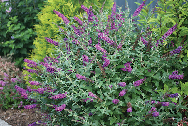 Buddleia 'Miss Violet' from Proven Winners Shrubs