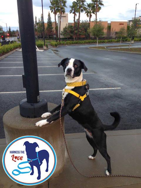 Beautiful black-and-white dog wearing a yellow harness