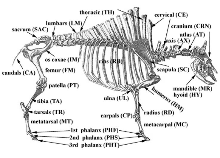 veterinary online-general osteology