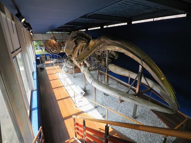 東京海洋大学 マリンサイエンスミュージアム 鯨ギャラリー