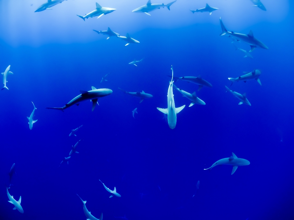 Capt  Stan's Deep Sea Chronicles: The Sharks to Fish for in