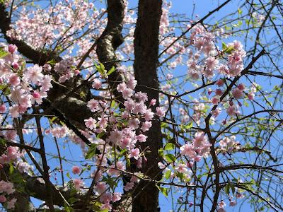 妙本寺枝垂桜