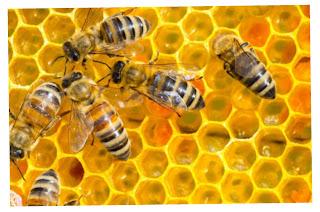 Koloni lebah dalam sarang