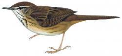 Grauer´s swamp Warbler