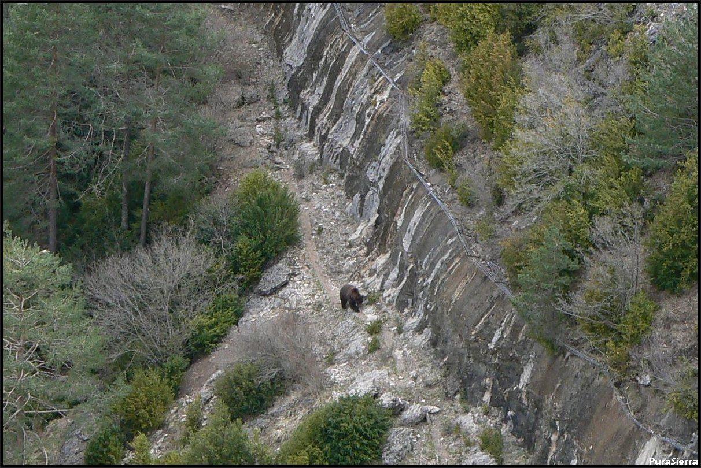 Oso bajo la valla casi horizontal dispuesta para evitar su fuga en el Rincón Del Buitre (El Hosquillo)