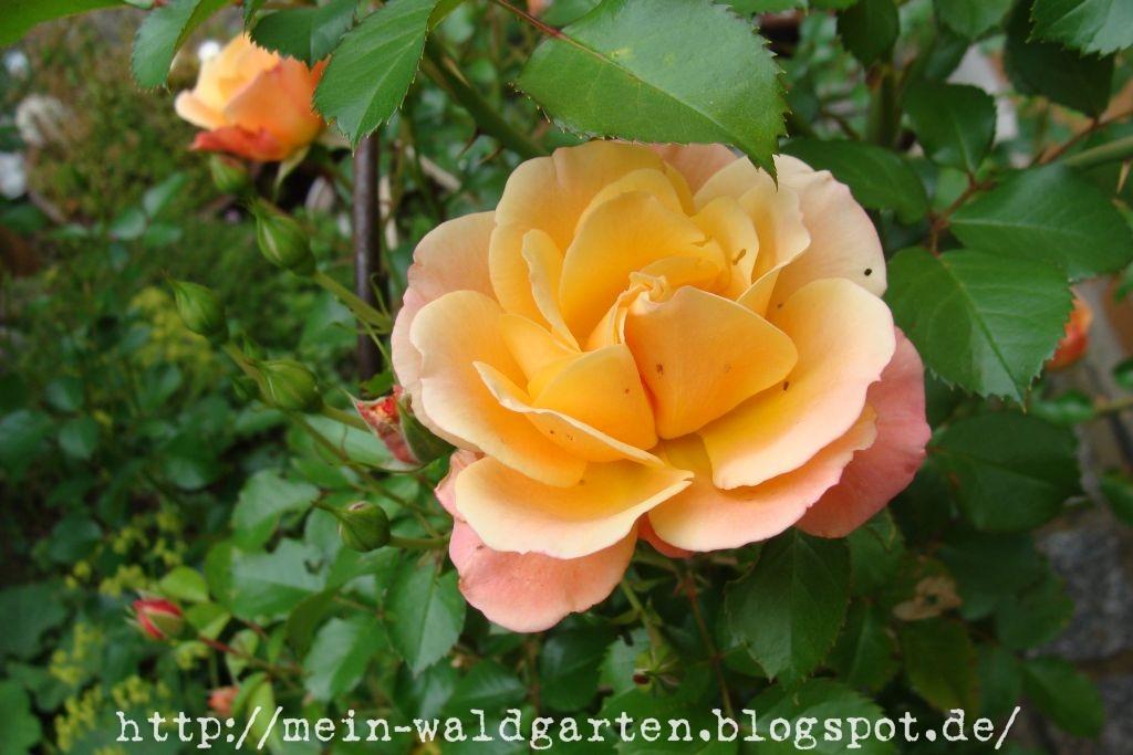 mein waldgarten die terrassen rose bl ht jetzt auch. Black Bedroom Furniture Sets. Home Design Ideas