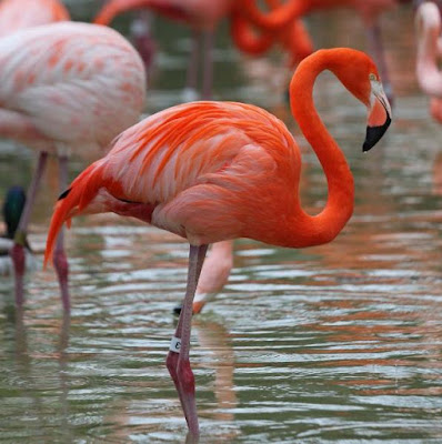 Flamingo - Animals beginning with Letter F