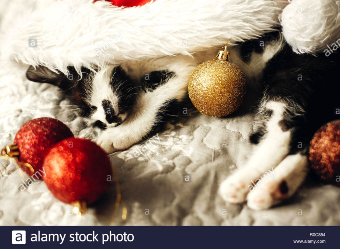 e51f0631cdb4c Cute kitty sleeping in santa hat on bed with gold and red