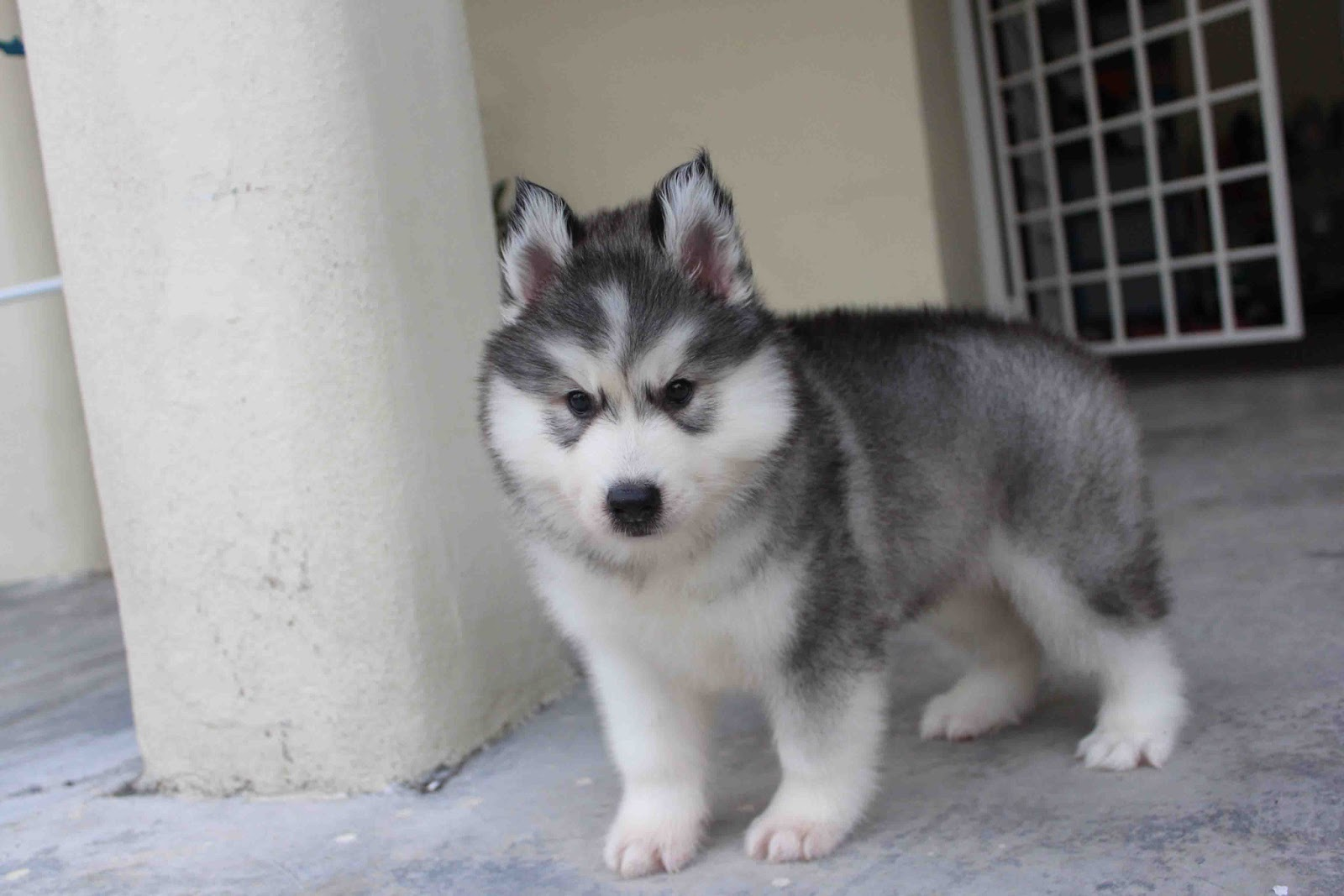 Husky Price Is Siberian Husky Puppy Price In Malaysia Any Good 16 Ways
