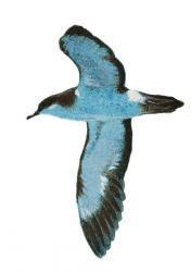 Puffinus auricularis