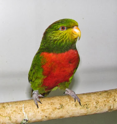 Orange billed lorikeet