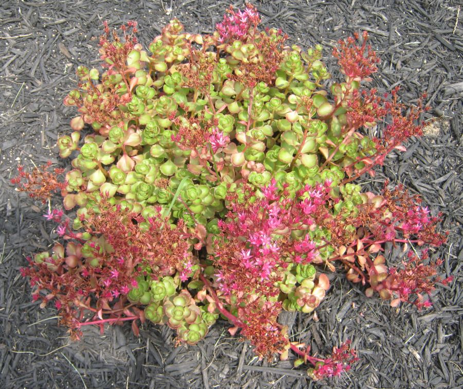 A Low Groundcover Perennial Reaching Up To 6 Inches In