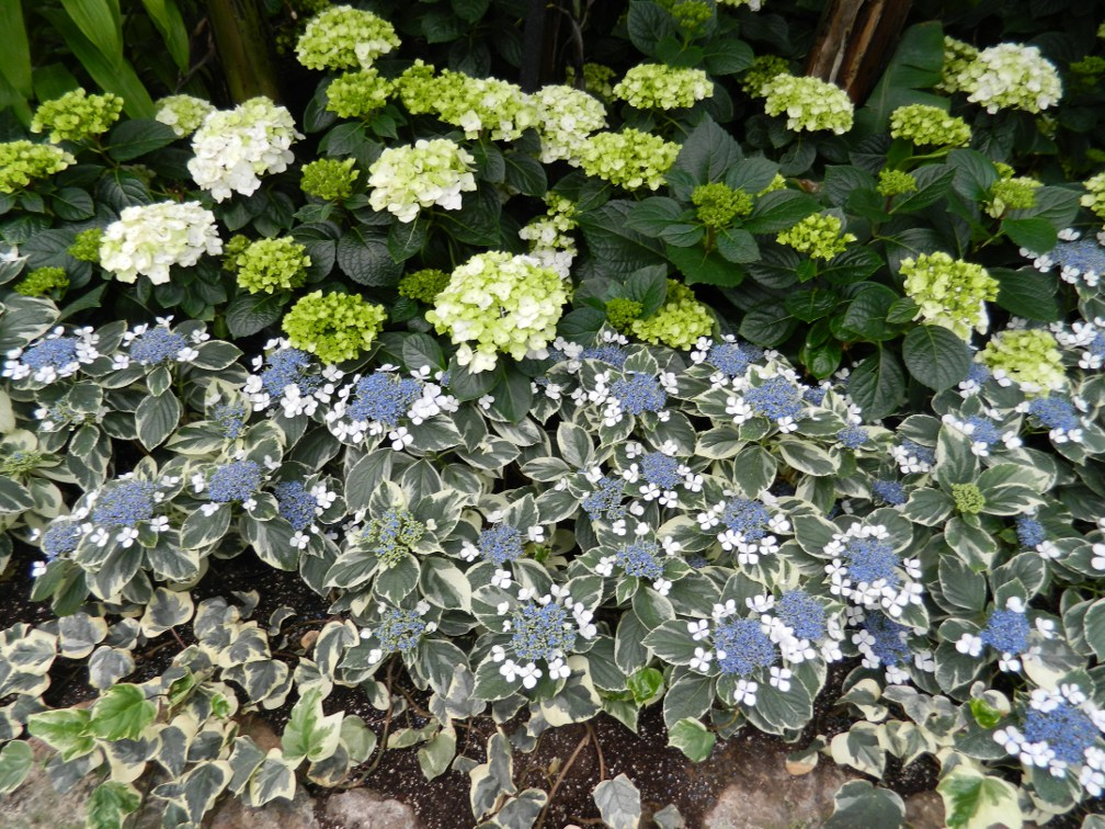 Allan Gardens Conservatory Easter Flower Show 2013 blue lacecap white mophead hydrangeas variegated ivy by garden muses: Toronto gardening blog