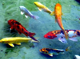 Ikan hias air tawar terindah koi jepang