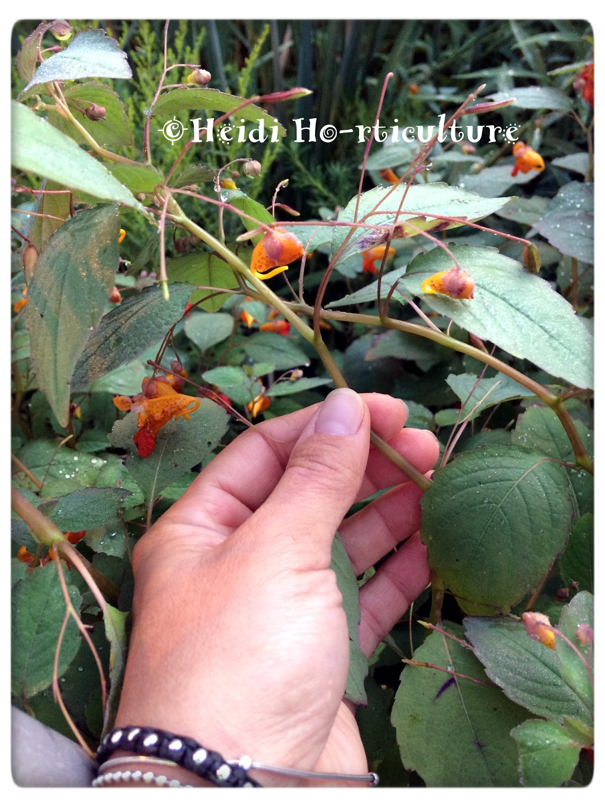 Used Medicinally By Indigenous People For Years, Impatiens Capensis Leaves  Contain A Compound Called Lawsone   Which Has Anti Histamine And ...