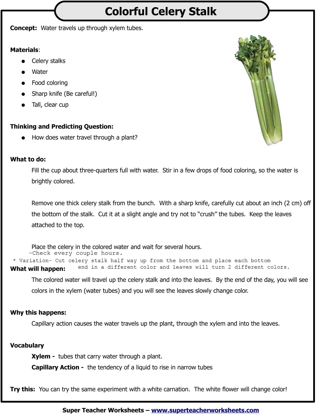 Celery Experiment Printable Worksheet Celery Experiment