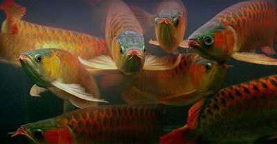 cara budidaya ikan arwana,arwana silver,arwana di kolam,harga ikan arwana,pembibitan ikan arwana,bisnis ikan arwana,