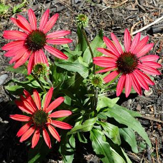 Échinacée horticole - Fleur de jardin - Fleur rouge - Echinacea