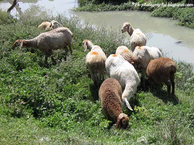 Sheep Ovis aries