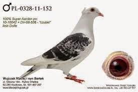 Racing Pigeons Nieripigeons Jan Aarden En Encuesta Mundial