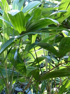 Chuniophoenix nana - Palmier nain de Chine