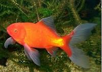 jenis ikan koki Comet goldfish cantik