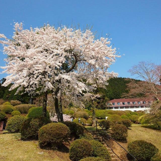 箱根 山のホテル 桜