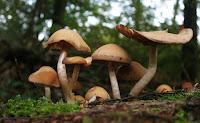 capacité du champignon à bloquer la production excessive d'œstrogènes