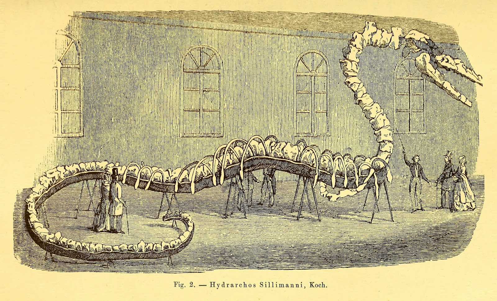 Biodiversity Heritage Library: The Quest for the Sea ... Oarfish Skeleton
