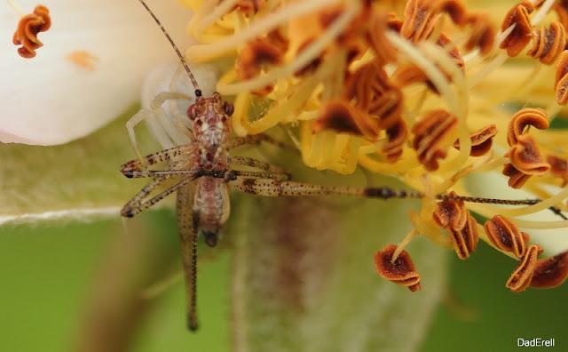 L'araignée crabe dévore un petit insecte