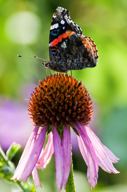 Red Admiral on Cornflower, LLELA