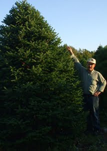 We have huge Christmas Trees ready to ship