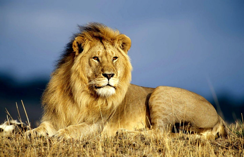 Lion Animal Hd Wallpaper Wallpapers Savage