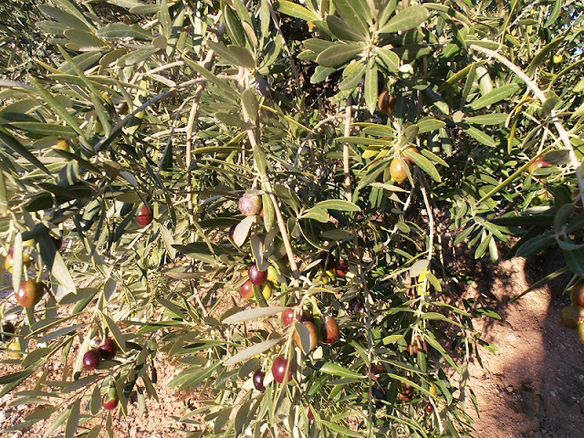 Olives Ripening, Changing from Green to Black