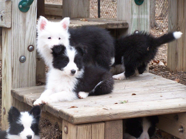 Border collies at 8 weeks old