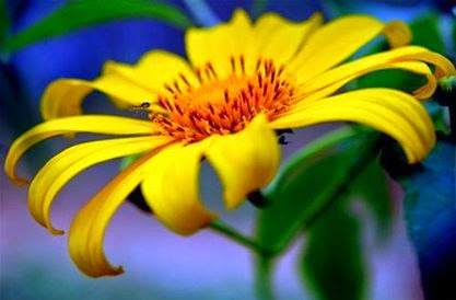 Những mùa hoa dã quỳ