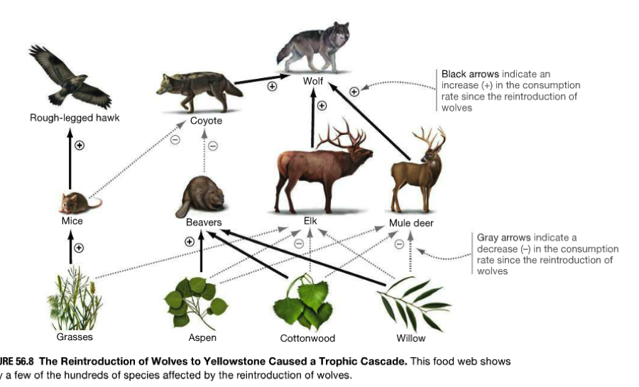 an analysis of the reintroduction of gray wolves in yellowstone When the grey wolf was reintroduced into the greater yellowstone ecosystem in  1995, there was only one beaver colony in the park, said doug.