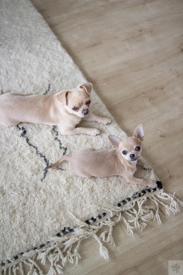 chihuahua, beni ouarain matto