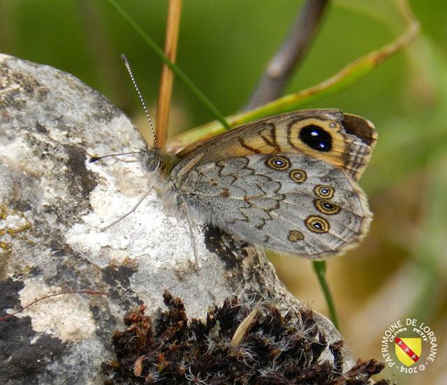 Nemusien ou Ariane (Lasiommata maera)