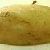 تجهيز التقاوى وزراعة البطاطس